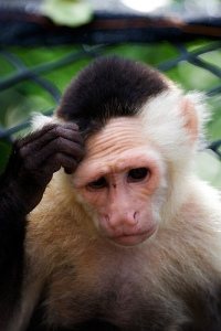 confused monkey